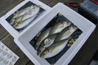 [画像]商標の手釣り泉アジシールを付けて出荷します。