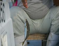[画像]さっそく釣れました。泉アジ!